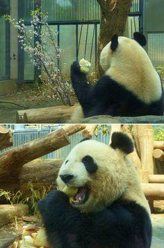 Twitter / UenoZooGardens: ジャイアントパンダに春のごちそう! シンシンも、桜を見てから ...