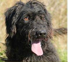 """GINN croisé Griffon-Schnauzer.  Ginn est un jeune chien câlin, très joueur, plein de vie. C'est un """"rayon de soleil"""". Il est propre, sage, ne détruit pas, il marche bien en laisse. MOLOSSES LAND(Sarthe)"""
