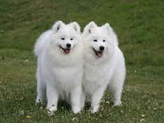 Samoyed dogs! cute!