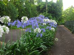 Agapanthus Orientalis   ......Need full sun to flower     Dwarf variety grows to 45cm high in flower
