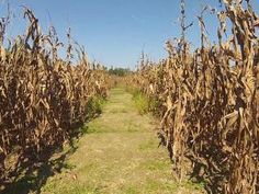 Halloween is quickly approaching, bringing with it scary movies and corn mazes. Next to the Sylvan Heights Bird Park in Scotland Neck, revelers must solve riddles and learn about birds to navigate the corn maze.