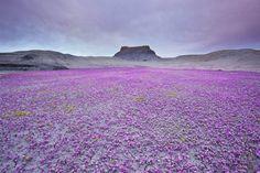 紫の花が咲き誇るユタ州の荒地
