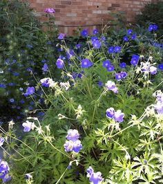 The deep blue of these 'Brookside' geraniums mingles well with the pink roses, blue Nigella, and purple iris in this border. Read more about geraniums at http://www.spottsgardens.com/the-genuine-geranium/