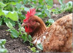 GREAT site on backyard chickens!