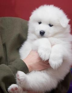 Samoyed Puppy. Gimme.