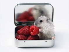 Hamster enjoying raspberries.