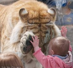 This is the remarkable moment when a tiger bowed its head and placed a paw up to the hand of a small girl.  Photographer Dyrk Daniels noticed the 370lb Golden Bengal Tiger had taken an interest in the child, who was leaning against his glass enclosure.  As the tiger, called Taj, headed over to her, Mr Daniels got his camera ready, expecting him to snarl and bang against the glass.  'I noticed that Taj had taken an interest in the girl and was heading towards her.  'I thought for certain that the little girl would need therapy after the encounter and fear cats for the rest of her life.  'I could not believe my eyes when Taj approached the girl, bowed his head and then placed his huge right paw exactly in front of where the little girl's left hand was.  'It was incredible to watch. Taj let down his right paw, rubbed his cheek against the glass where the little girl's face was and moved off.'  Far from being scared, the little girl was so excited that she started clapping as she walked back afterwards towards her mother.   'I have never seen such tenderness from such a large predator,' Mr Daniels said...how cool :)