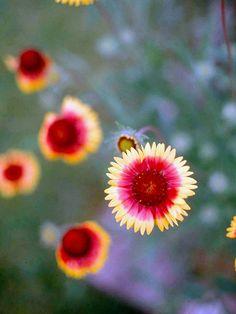 Blanket Flower - PNW native, full sun, smaller plant