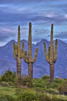 Four Peaks Three Saguaros by Paul Gill
