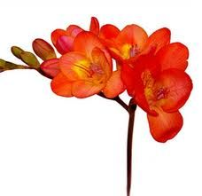 freesia orange All year round availability