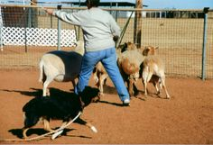 Another nice quality in a started herding dog is their willingness to move off the stick - see how this Australian Shepherd is moving away from the stick? stick, herd dog, australian shepherd, dog herd