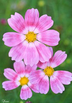 plant, happi ring, annual, cosmos bipinnatus, bipinnatus happi, beauti cosmos, log houses, garden, flower
