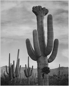 "Full view of cactus with others surrounding, ""Saguaros, Saguaro National Monument,"" Arizona. (Vertical Orientation) by The U.S. National Archives"