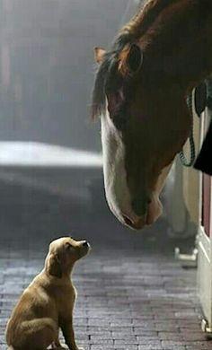 Budweiser Clydesdale & puppy