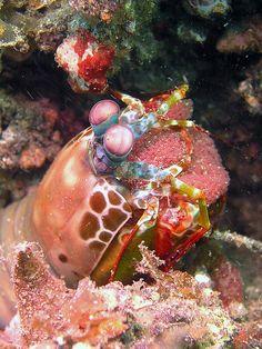 A Peacock Mantis Shrimp with her eggs