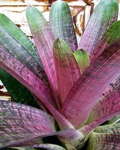 Hawaiian Bromeliads