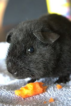Things that are amazingly cute..... Guinea Pig.