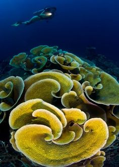 ^Yellow cabbage coral reef