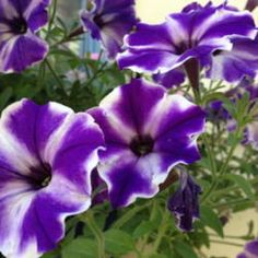 All about bi-colored petunias