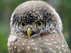 Pernambuco Pygmy-Owl- hard to find.  Brazil