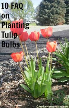 Questions frequently asked about planting and growing tulips answered by a gardening expert.
