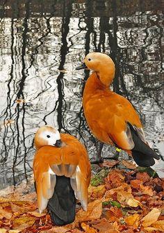 ~Autumn Ducks~