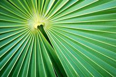 Palm leaf palm