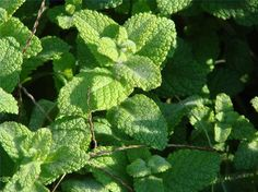 Peppermint Oil for Sinus Relief