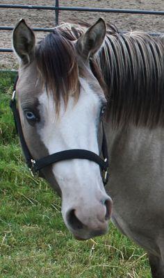 Grulla horse