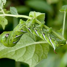 How to control hornworms. | From Organic Gardening