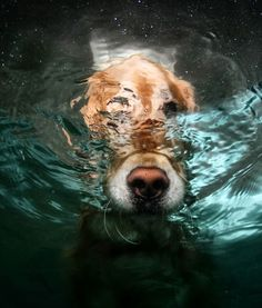 golden retreiver comes up for air by seth casteel