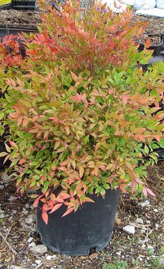 Gulfstream nandina has the finely textured foliage of its parnt in a more compact, less leggy form.