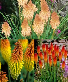 Look at this #zulilyfind! Kniphofia Red Hot Poker Plant - Set of Three by Cottage Farms Direct #zulilyfinds