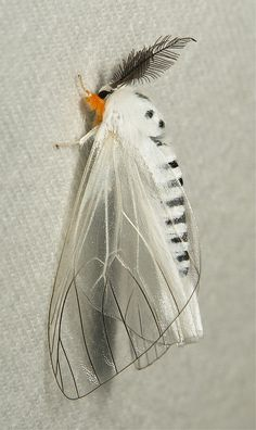 Clearwing Tussock Moth (Lymantriinae), possibly Perina sp., male | Flickr - Photo Sharing!