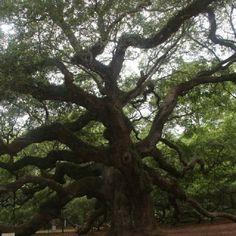Angel Oak on John's Island, SC