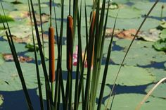 Cattail is a monocotyledonous flowering plants. The genus has a ...