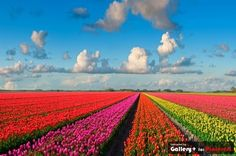 Tulip Fields of Lisse, Holland