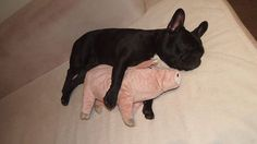 Black French Bulldog sleeps with his little Piggy.