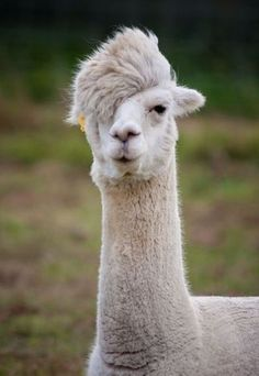 bachelorette, punk rock, funny animals, hipster, alpacas, llama llama, popular pins, mother nature, funky hairstyles