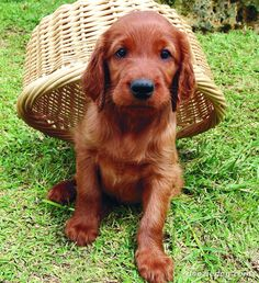 Irish setter puppy. They aren't generally the sharpest tools in the shed, but they are sweet dogs.--- just how i like em