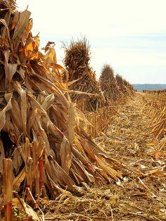 Amish Corn Field Fall Harvest