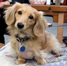 Blonde dachshund- long hair