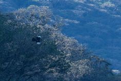 The White-winged Guan, spotted on Day 1 of the World Birding Rally