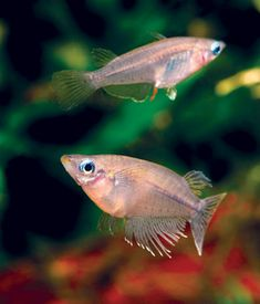 Freshwater aquarium fish on pinterest aquarium fish for Peaceful freshwater fish