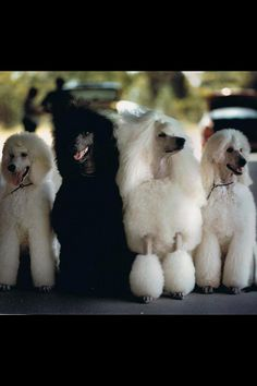 Pretty poodles. Notice the one Groomed is the happiest.  See the snout raised.  Funny