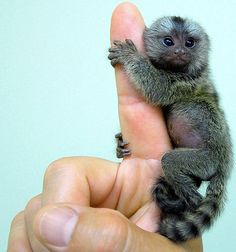 Pygmy Marmoset ..... is this a joke? is it really the size of a finger??!!