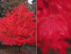 landscap, glori mapl, red mapl, allergi friend, october, backyard, garden, octob glori