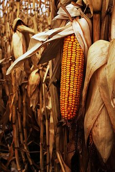 #corn in the field #fall