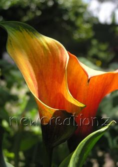 Calla Lily photographic print by NewCreatioNZ on Etsy, $9.00 #newcreationz #flowers #photography
