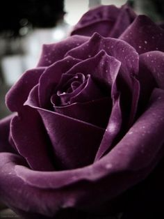 a magnificent purple rose